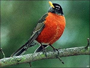 American robin (AP file photo)